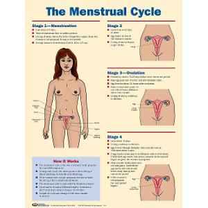 Menstrual Cycle Poster (Laminated)