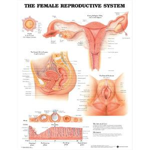 The Female Reproductive System Poster (Laminated)