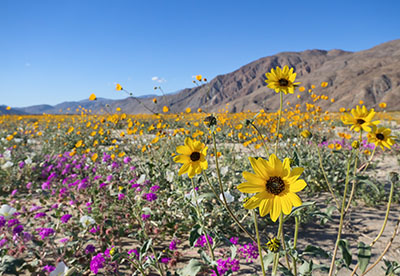 Wildflowers in a southern California desert, mountains in background